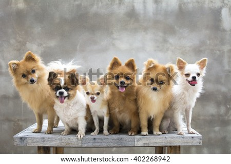 dogs group,four pomeranains two chihuahuas are sit on table whit concrete backgrounds - stock photo