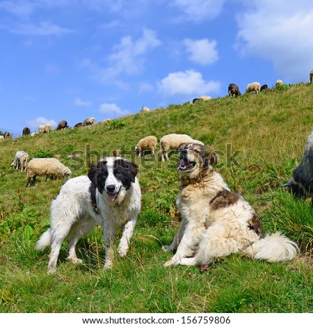 Dogs guard the sheep on the mountain pasture - stock photo