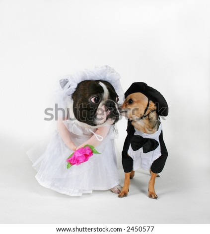 Dogs Wedding Attire Stock Photo (Royalty Free) 2450577 - Shutterstock