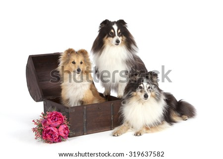 Dogs of breed of Shetland Sheepdog with a bouquet of pink flowers on a white background near a brown chest in which the red dog sits. - stock photo