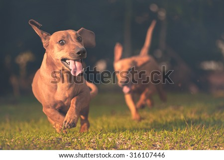 Dogs playing and running in the grass. - stock photo