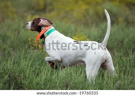 Dogs quail hunting - stock photo