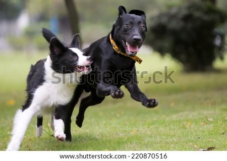 Dogs racing - stock photo