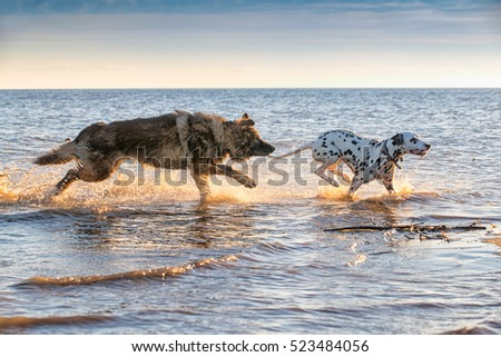 Dogs running and splashing through the sea water together having fun