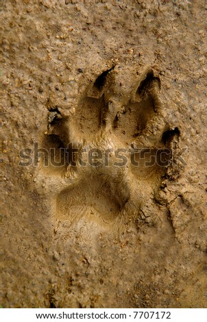 Dogs track on mud - close up - stock photo