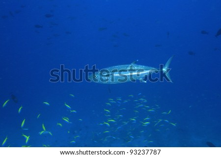 Dogtooth tuna in the blue water of the ocean - stock photo