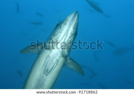 Dogtooth tuna in the open water of the ocean - stock photo