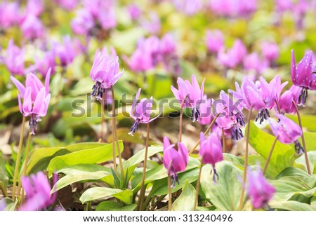 Dogtooth Violet Colony, Semboku City, Akita, Japan - stock photo