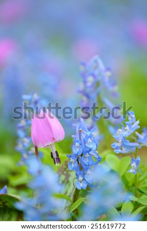dogtooth violet in blue flower / fawn lily - stock photo