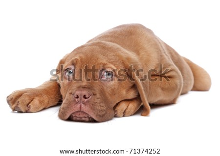 Dogue de Bordeaux, Bordeaux Mastiff or French Mastiff or Bordeauxdog puppy - stock photo