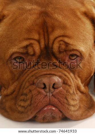 dogue de bordeaux - close up details of face - stock photo