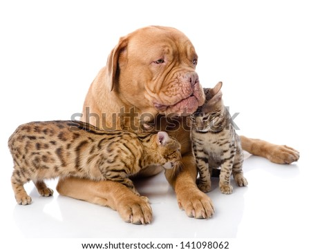 Dogue de Bordeaux (French mastiff) and Bengal cats (Prionailurus bengalensis) lying together. isolated on white background