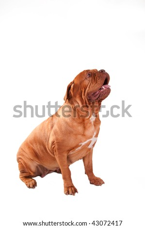 Dogue de Bordeaux looking up