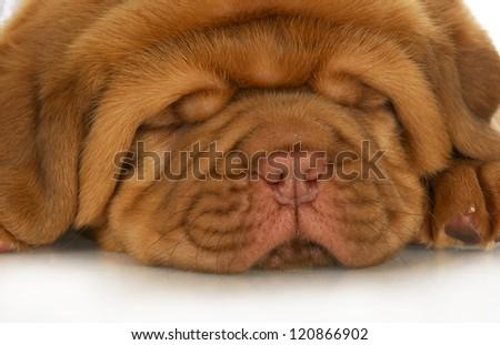 dogue de bordeaux puppy face - 4 weeks old - stock photo