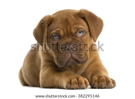 Dogue de Bordeaux puppy lying in front of a white background - stock photo