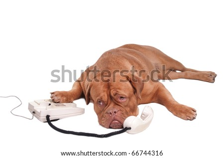Dogue de bordeaux talking on the phone