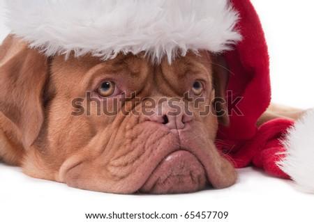 Dogue de bordeaux with red Santa hat - stock photo