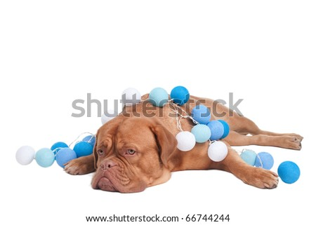 Dogue de Bordeaux with white and blue Christmas Balls - stock photo