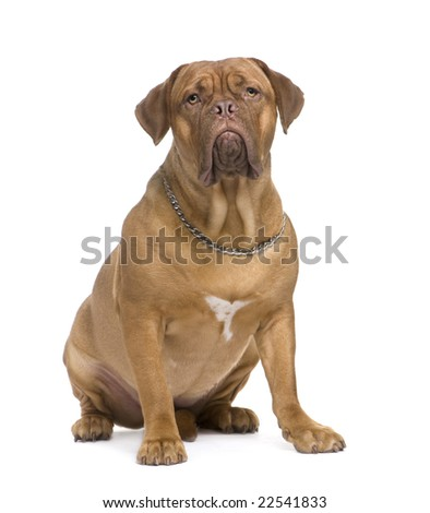 Dogue de Bordeaux (1.5 years) in front of a white background - stock photo