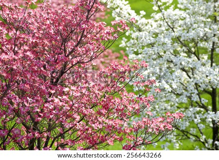 Dogwood Blossoms In The Springtime - stock photo