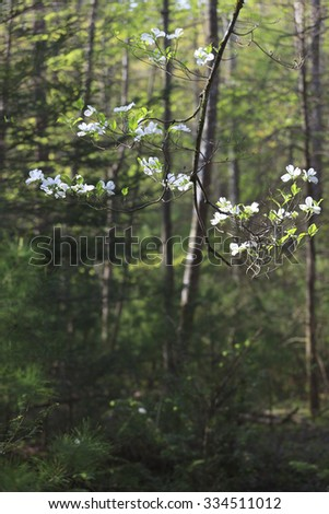 Dogwood tree blooms along Middle Prong in Smokey Mountain National Park, TN. - stock photo