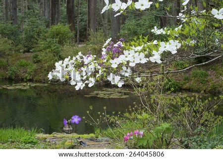 Dogwood trees bloom near a clear pond. - stock photo