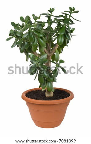 Dollar plant (Crassula ovata) known also as jade plant or money tree. Isolated over white background. Clipping path included.