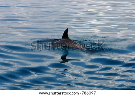dolphin fin - stock photo