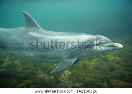 Dolphin in clear water, Ireland - stock photo