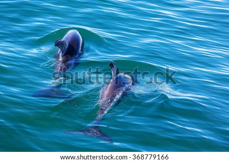 Dolphin in ocean,Argentina - stock photo