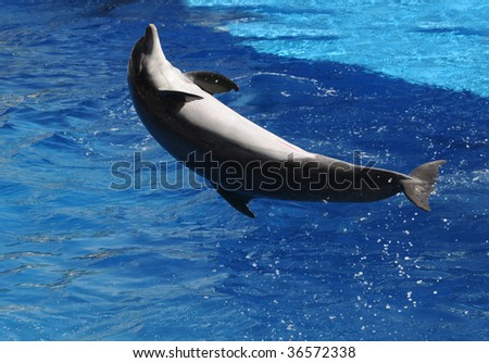 Dolphin jumping out of clear blue water