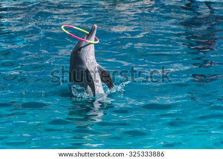 dolphin plays a color ring, leaning half a length from the bright turquoise of the pool water - stock photo