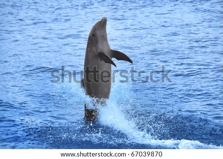 Dolphin showing off in the Caribbean water, Curacao - stock photo