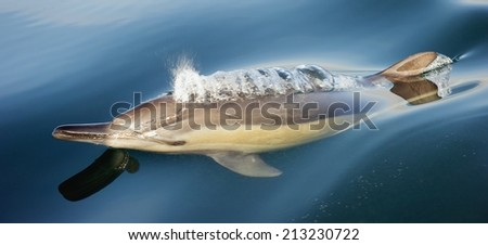 Dolphin, swimming in the ocean. The dolphins are currently breathing, the bubbles are visible. Dolphin taking breath  - stock photo
