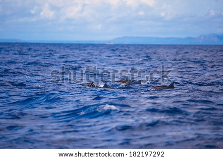 Dolphins in open blue sea swimming next to each other - stock photo
