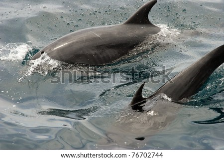 Dolphins jumping at the surface, Galapagos Islands - stock photo