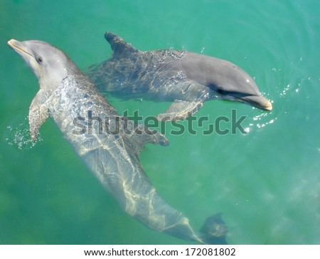 dolphins playing in the water of the carribean sea - stock photo