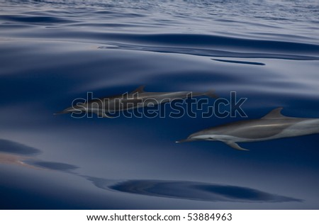 Dolphins Red Sea.