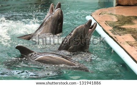dolphins sail in water - stock photo
