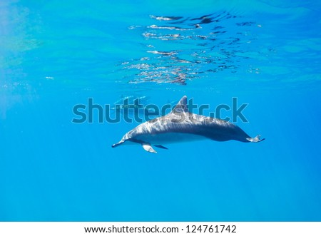 Dolphins Underwater in Hawaii - stock photo