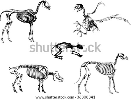 Domestic animals skeleton, can be used to for medical or educational. - stock photo