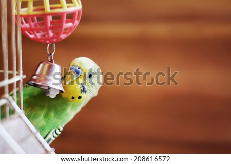 Domestic budgie sitting with his toy friend.  A green Budgerigar - stock photo