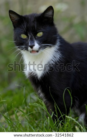 domestic cat - stock photo