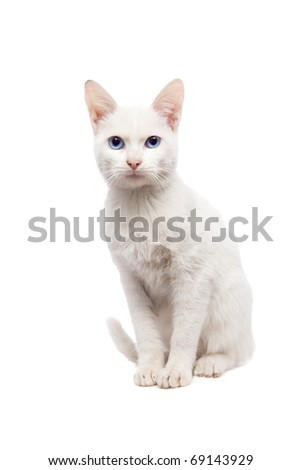 Domestic Cat Ankara cat sitting position isolated on white