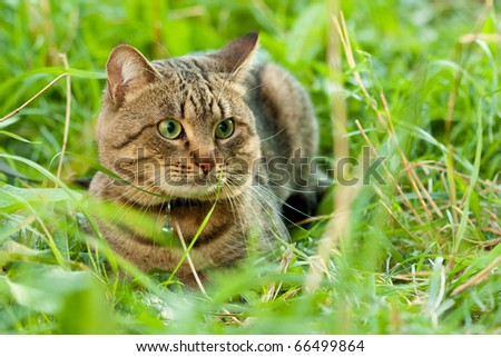 Domestic Cat in the grass