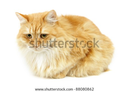 Domestic cat isolated on white