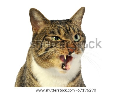 Domestic cat licks - stock photo