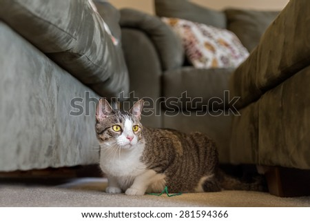 Domestic Cat Lies Between Couches - tight dof - stock photo