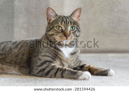 Domestic Cat Lies on Carpet Looking at Viewer - tight dof - stock photo