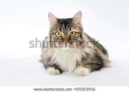 Domestic cat, longhaired tricoloured lying